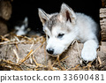 cute puppy alaskan malamute run on grass garden 33690481