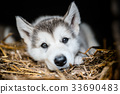 cute puppy alaskan malamute run on grass garden 33690483