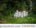 group of cute puppy alaskan malamute run on grass 33690485