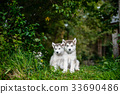 cute puppy alaskan malamute run on grass garden 33690486