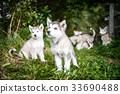 group of cute puppy alaskan malamute run on grass 33690488