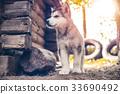 cute puppy alaskan malamute run on grass garden 33690492