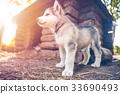 cute puppy alaskan malamute run on grass garden 33690493