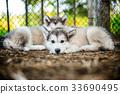 cute puppy alaskan malamute run on grass garden 33690495