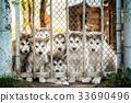 group of cute puppy alaskan malamute run on grass 33690496