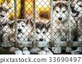 group of cute puppy alaskan malamute run on grass 33690497