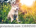 cute puppy alaskan malamute run on grass garden 33690500
