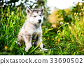 cute puppy alaskan malamute run on grass garden 33690502