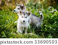 cute puppy alaskan malamute run on grass garden 33690503