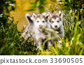 cute puppy alaskan malamute run on grass garden 33690505