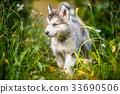 cute puppy alaskan malamute run on grass garden 33690506