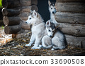 group of cute puppy alaskan malamute run on grass 33690508
