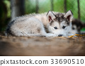 cute puppy alaskan malamute run on grass garden 33690510