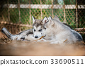 cute puppy alaskan malamute run on grass garden 33690511