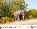 Elephant from Kruger National Park 33692628