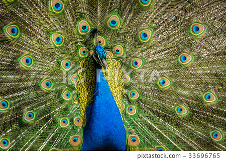 Male of Indian peafowl 33696765