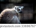 Ring tailed lemur 33696767
