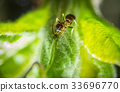 Ant and aphid 33696770