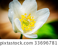 snowdrop anemone macro 33696781