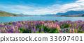 Lake Tekapo Lupin Field in New Zealand 33697401