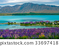 Lake Tekapo Lupin Field in New Zealand 33697418