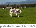 放牧 奶牛 牲口 33700824