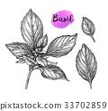 罗勒属植物 罗勒 香草 33702859