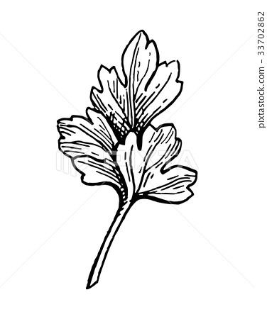 Parsley ink sketch 33702862