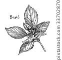 罗勒属植物 罗勒 背景 33702870