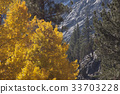 A Birch Tree of Autumn Gold 33703228