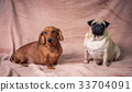 Funny Pug and Dachshund 33704091