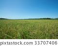 Landscape of rice field 33707406
