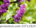 lilac 33711824