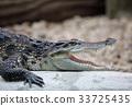 Crocodile, reptilian, crocodiles 33725435