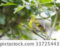 Eurasian siskin (Spinus spinus) small bird 33725443
