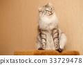 Fluffy cat 33729478