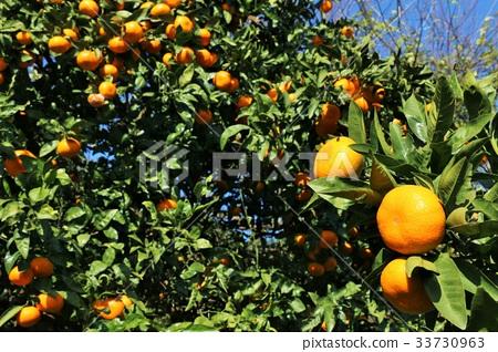 ส้มแมนดาริน,อาหาร,วัตถุดิบทำอาหาร 33730963