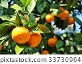 橘子字段 33730964