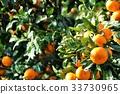 ส้มแมนดาริน,อาหาร,วัตถุดิบทำอาหาร 33730965