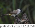 Sooty-headed bulbul Beautiful Birds of Thailand 33734750