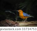 Orange-headed Thrush (Geokichla citrina) Bird 33734753