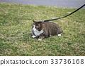 cat, pussy, fat cat 33736168