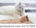 adorable white Persian cat look softly 33737092