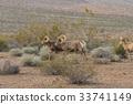 Herd of Desert Bighorn Sheep Rams 33741149