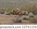 Herd of Desert Bighorn Sheep Rams 33741150