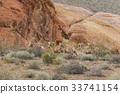 Herd of Desert Bighorn Sheep Rams 33741154