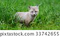 狐狸 幼兽 青草 33742655