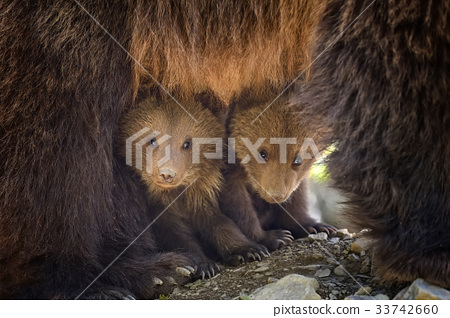 Young brown bear in the forest 33742660