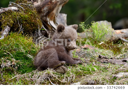 Young brown bear in the forest 33742669