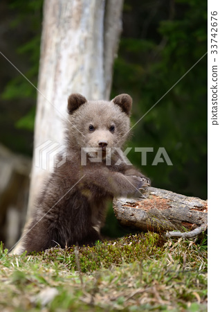 Young brown bear in the forest 33742676